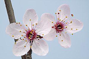 Pressentia - Flores de cerezo