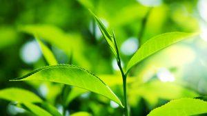 Tipos de perfumes: Verde. Pressentia